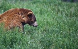 Urso de Brown em um dia de verão na grama verde alta imagem de stock royalty free