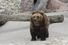 Urso de Brown em um jardim zoológico Foto de Stock Royalty Free