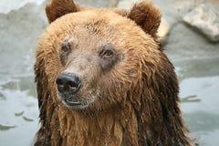 Urso de Brown em um jardim zoológico Imagem de Stock