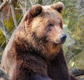 Urso de Brown em um jardim zoológico Fotografia de Stock