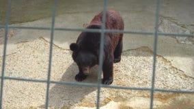 Urso de Brown em uma gaiola vídeos de arquivo
