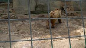 Urso de Brown em uma gaiola video estoque