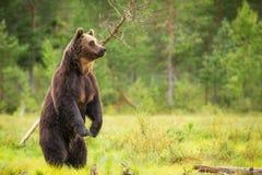 Urso de Brown eu inundo a vista na câmera foto de stock