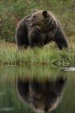 Urso de Brown europeu Imagens de Stock Royalty Free