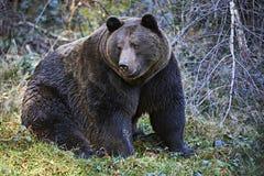 Urso de Brown grande Imagem de Stock Royalty Free