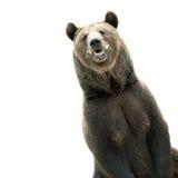 Urso de Brown grande Fotografia de Stock
