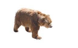 Urso de Brown isolado no branco Imagens de Stock Royalty Free