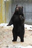 Urso de Brown japonês O parque dos ursos em Japão, Hokkaido Fotografia de Stock