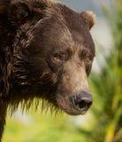 Urso de Brown litoral enorme fotografia de stock royalty free