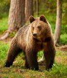 Urso de Brown na floresta fotografia de stock