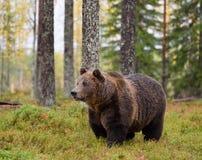 Urso de Brown na floresta do outono Fotografia de Stock Royalty Free