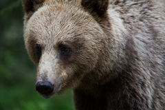 Urso de Brown na floresta finlandesa Fotografia de Stock