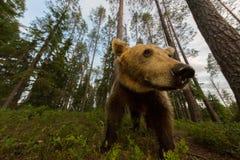 Urso de Brown no ângulo largo da floresta finlandesa Fotografia de Stock Royalty Free