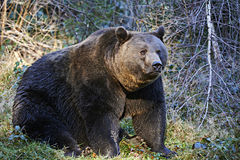 Urso de Brown no forset Fotografia de Stock Royalty Free