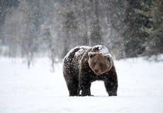 Urso de Brown no inverno fotos de stock royalty free