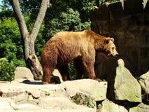 Urso de Brown no jardim zoológico Fotografia de Stock Royalty Free