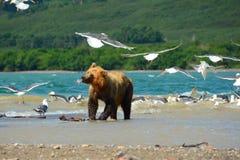 Urso de Brown no lago kamchatka Fotos de Stock Royalty Free