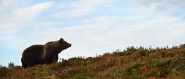 Urso de Brown no monte Imagens de Stock