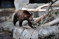 Urso de Brown no movimento Imagens de Stock