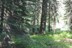 Urso de Brown no parque nacional de sequoia fotografia de stock royalty free