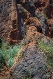 Urso de Brown no perfil que encontra-se na rocha Fotografia de Stock Royalty Free