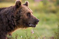 Urso de Brown no verde foto de stock