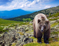 Urso de Brown no wildness Imagem de Stock Royalty Free