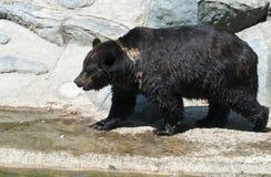 Urso de Brown pela água imagens de stock