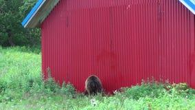 Urso de Brown perto da casa vídeos de arquivo