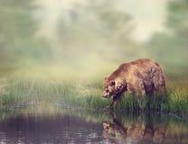 Urso de Brown perto da lagoa imagem de stock