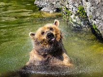 Urso de Brown que agita fora da água Fotografia de Stock