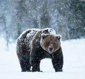 Urso de Brown que anda na neve Imagens de Stock Royalty Free