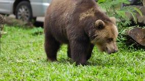 Urso de Brown que anda no jardim zoológico video estoque