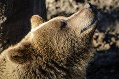 Urso de Brown que aprecia o sol imagens de stock