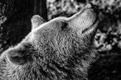 Urso de Brown que aprecia o sol em preto e branco fotos de stock royalty free