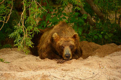 Urso de Brown que descansa nos arbustos Fotos de Stock Royalty Free