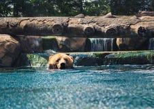 Urso de Brown que refrigera fora imagens de stock royalty free