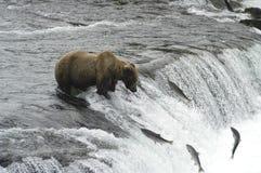 Urso de Brown que tenta travar salmões Imagem de Stock Royalty Free