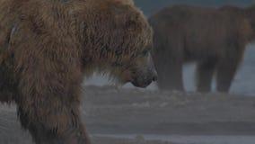 Urso de Brown que tenta travar um peixe video estoque
