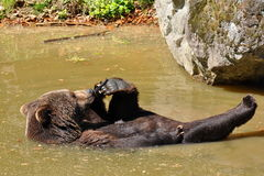 Urso de Brown que toma o banho foto de stock royalty free