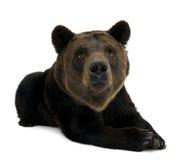 Urso de Brown Siberian, 12 anos velho, encontrando-se Fotografia de Stock