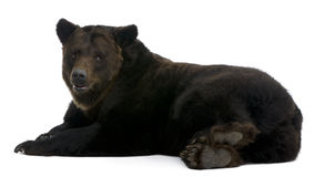 Urso de Brown Siberian, 12 anos velho, encontrando-se Imagens de Stock Royalty Free