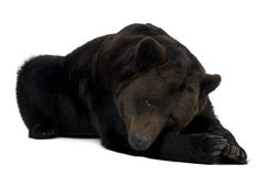 Urso de Brown Siberian, 12 anos velho, encontrando-se Imagens de Stock