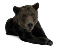 Urso de Brown Siberian, 12 anos velho, encontrando-se Fotos de Stock