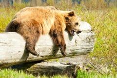 Urso de Brown sonolento imagens de stock royalty free
