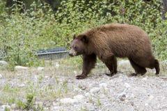 Urso de canela. Imagem de Stock