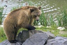 Urso de escalada Imagens de Stock