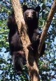 Urso de escalada Fotografia de Stock