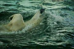 Urso de gelo da natação no jardim zoológico Imagem de Stock Royalty Free