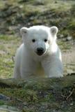 Urso de gelo Knut fotografia de stock royalty free